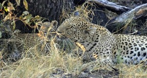 Leopards play