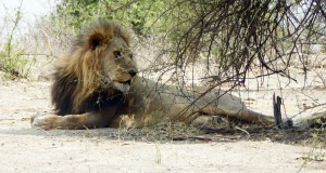 A-lion-seeking-shade-in-Chobe-last-week