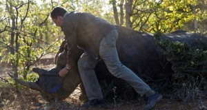 Black-rhino-capture-for-relocation-_Kai-Collins