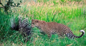 Leopard-at-Chitabe