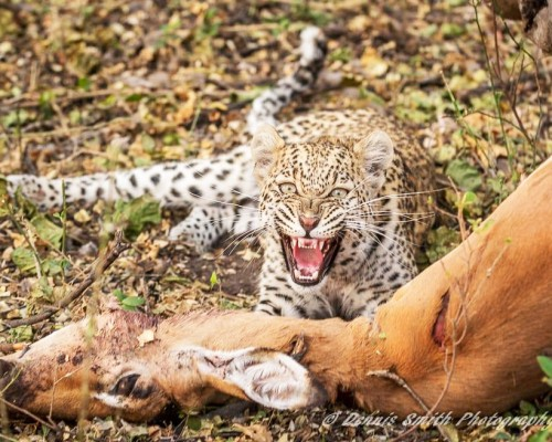 Wilderness-Safaris-Chitabe_young-leopard-on-kill_Dennis-Smith