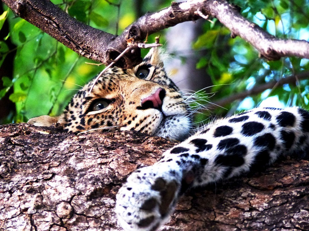 Leopard tree snooze LR
