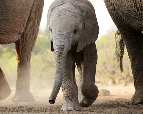 Elephant-Calf-by-guest-Angelica-Mills