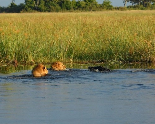 Lion-croc-fight-at-Kings-Pool_1