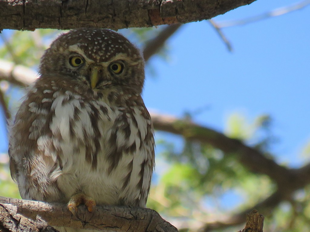lesser-spotted-owlet-close