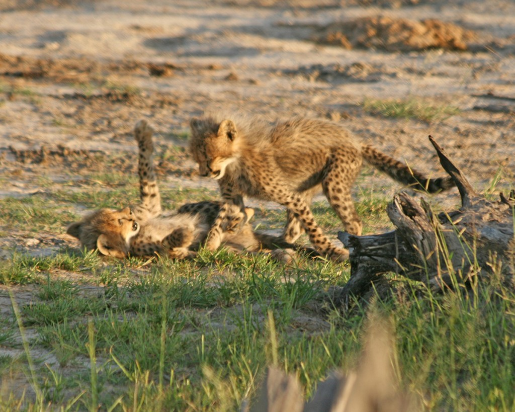 stuart_mckay-action5-cheetah_cubs-david-distinctive_americas-LR