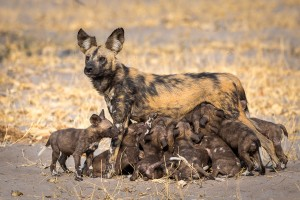 Wild-dog-pack_Wilderness-Safaris-DumaTau_Linynanti_Dana-Allen